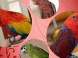Попугаи ручные птенцы из питомников